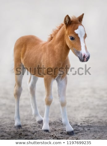 chestnut foal portrait stock photo © redpixel