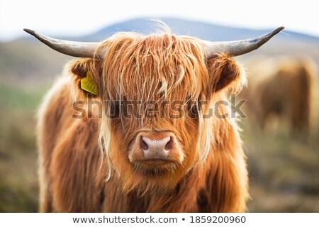 Foto stock: Rebanho · vacas · escócia