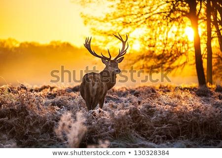 Rouge cerfs forêt Safari extérieur lumière du soleil Photo stock © arturasker