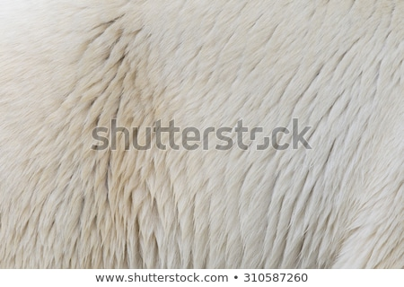 polar bear skin  Stock photo © jonnysek