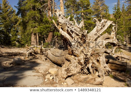 Cut trees in high Sierras, California. Stock photo © snyfer