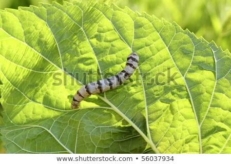 silkworm ringed silk worm cocoon on mulberry leaf Stock photo © lunamarina