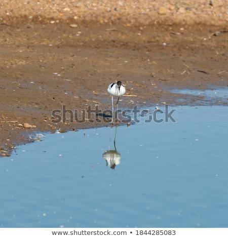Pied avocet walking in water Stock photo © ivonnewierink