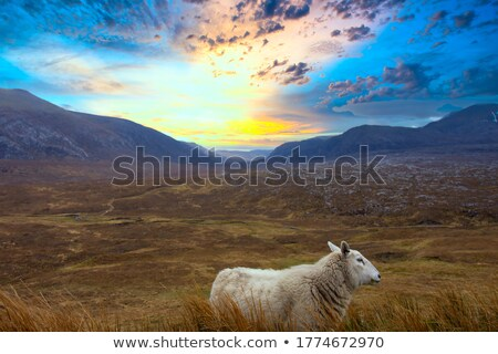 Moutons simple ciel printemps herbe Photo stock © andrewroland