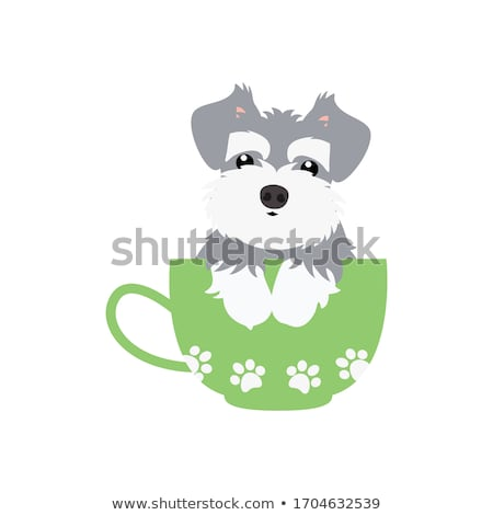 Stock photo: Cute Baby Miniature Schnauzer Puppy Dog on White