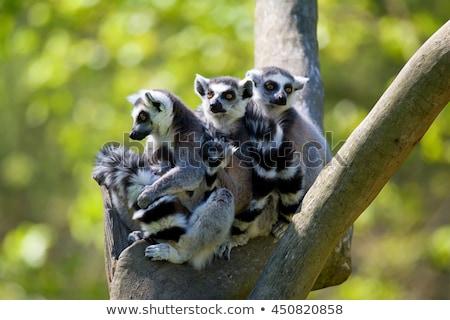 Lemur family Stock photo © Dermot68