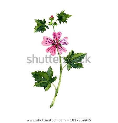 Flor natureza planta branco rosa flor Foto stock © rbiedermann