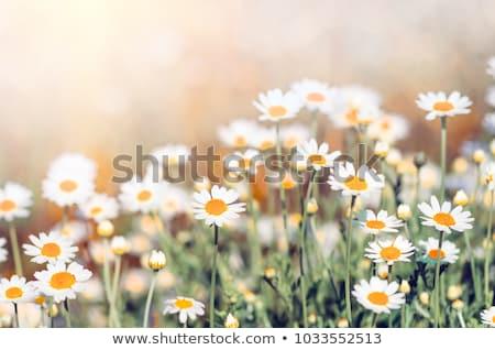 rumianek · niebieski · widoku · kwiat · piękna - zdjęcia stock © simazoran