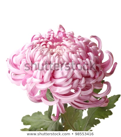 Pink autumn chrysanthemum isolated on white Stock photo © tetkoren