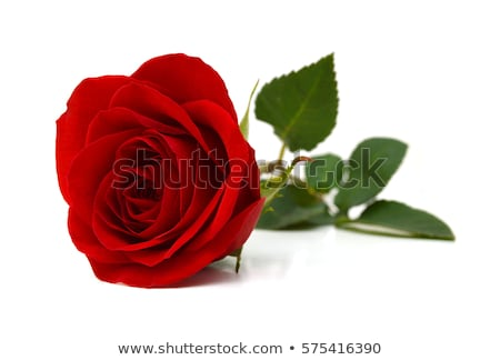 Single Red Rose On A White Background Stock Photo