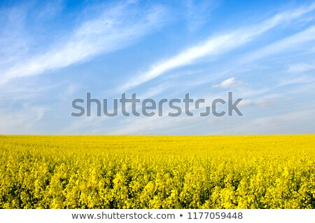 Stock photo: Landscape with rape seed