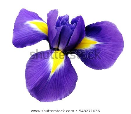 Iris çiçek mor beyaz bahçe mavi gökyüzü Stok fotoğraf © EFischen