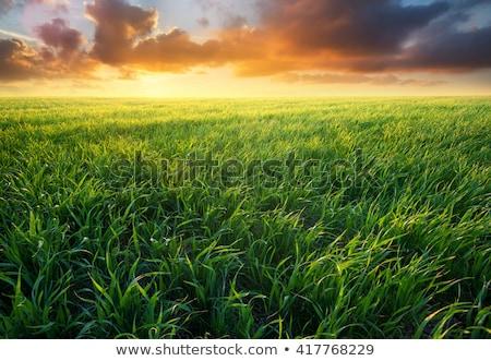 çim alanı gündoğumu çim güneş rays Stok fotoğraf © albertdw