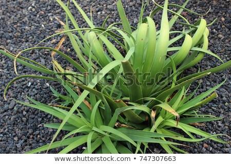 Agave ilustração verde ciência folhas desenho Foto stock © bluering