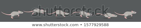 Szürke patkány egy fehér ház test Stock fotó © bluering