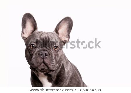 funny big head bulldog portrait in a white studio Stock photo © vauvau