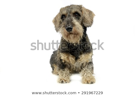 lovely puppy wired hair dachshund sitting in white photo studio stock photo © vauvau
