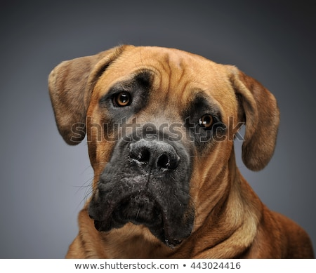 Beautiful puppy Cane Corso portrait in a black photo background Stock photo © vauvau
