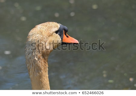 cygne · boueux · bec · coup - photo stock © brianguest