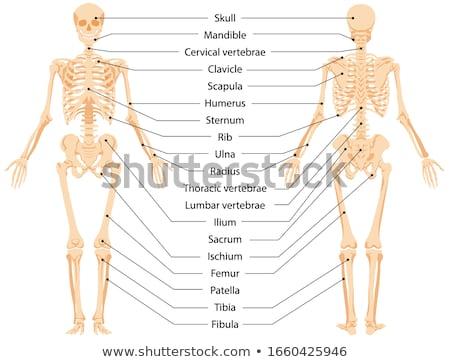 男性 · 人体解剖学 · 立って · 実例 · 孤立した - ストックフォト © krisdog