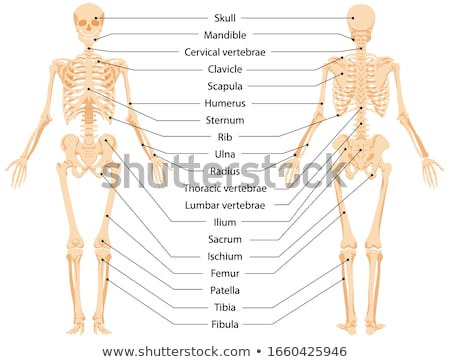 Anatomia umana scheletro umani medici chiropratico anatomia Foto d'archivio © Krisdog
