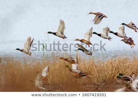 A male mallard duck (Anas platyrhynchos) quacking. Stock photo © latent