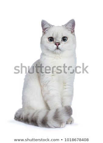 Silver tabby seal point British Shorthair, isolated on white background.  stock photo © CatchyImages