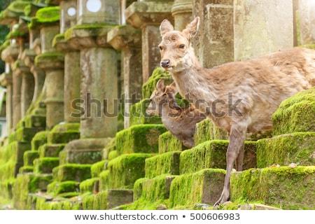 Jeleń parku lasu Japonia mężczyzna drzewo Zdjęcia stock © daboost