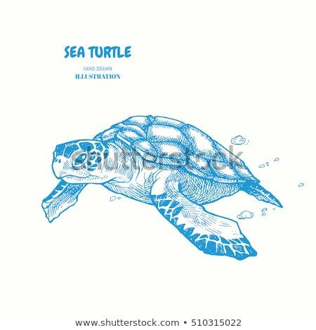 Rajz tenger teknős izolált fehér vektor Stock fotó © Arkadivna