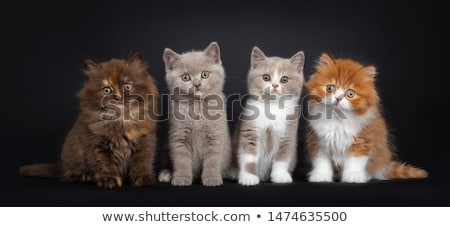 Brown tortie British Longhair kitten on black Stock photo © CatchyImages