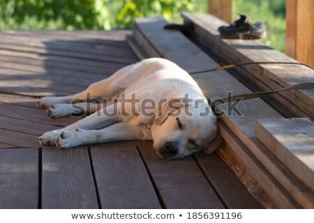 Bonitinho labrador cachorro cães adormecido Foto stock © ilona75