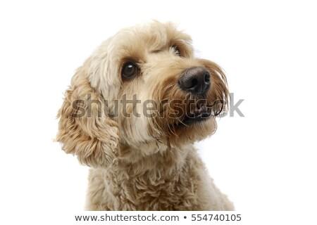 Széles látószögű lövés imádnivaló kutya stúdiófelvétel izolált Stock fotó © vauvau