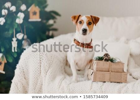 фото Джек Рассел собака диван гостиной два Сток-фото © vkstudio