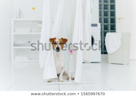 Jack russell terrier dog poses between white towels hanging on clothes dryer in washing room. Washer Stock photo © vkstudio