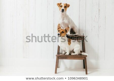 Twee vriendelijk honden zitten stoel geïsoleerd Stockfoto © vkstudio