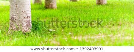 Newly planted grass seeds start to grow Stock photo © backyardproductions