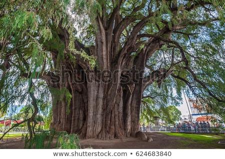 Corteza árbol mundo Foto stock © dmitry_rukhlenko