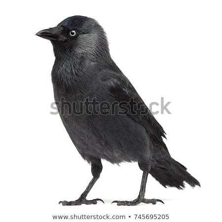 Stock photo: Jackdaw  Corvus monedula