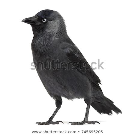 jackdaw corvus monedula stock photo © chris2766