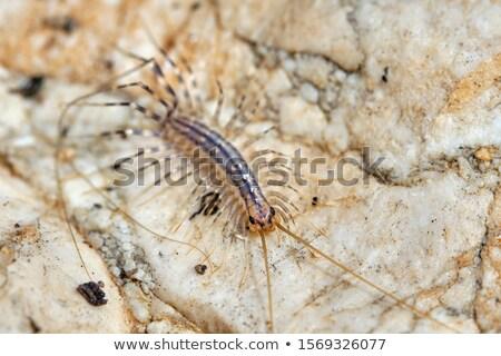 House centipede (Scutigera coleoptrata). Stock photo © Leonardi