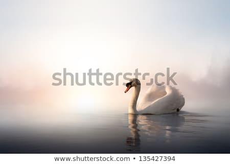 Gyönyörű hattyú tó magányos megvilágított emelkedő Stock fotó © nature78