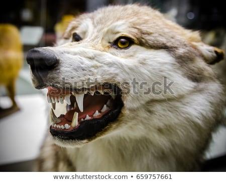 Grijs wolf tonen tanden Stockfoto © scooperdigital