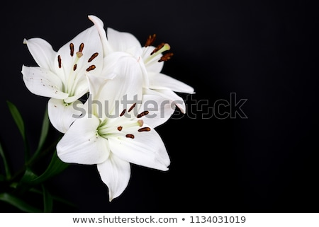 lilies on a black background stock photo © redpixel