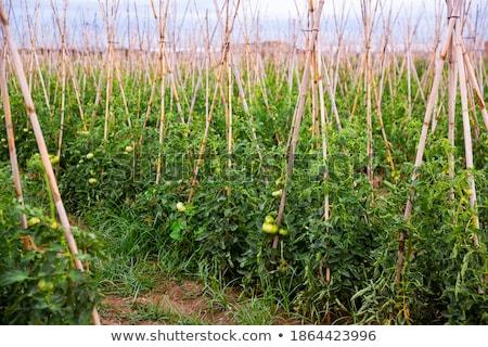 saláta · datolyaszilva · gyümölcsök · friss · diók · előétel - stock fotó © zzve