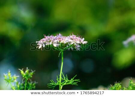 Fioritura coriandolo fiori alimentare estate verdura Foto d'archivio © inxti