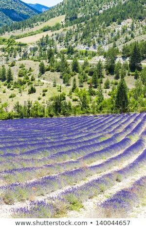 Lavendel veld Frankrijk natuur veld plant Europa Stockfoto © phbcz