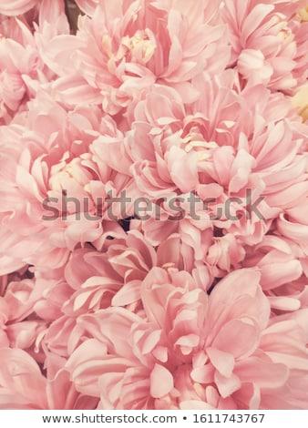 Roze dahlia bloem bloeien bloemen achtergrond Stockfoto © stocker