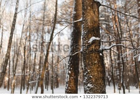 Congelada bétula naturalismo coberto neve Foto stock © smuki