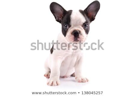 small french bulldog  Stock photo © OleksandrO