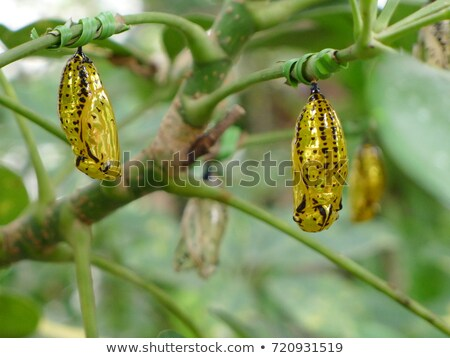 Chrysalis of Idea leuconoe butterfly Stock photo © amok